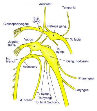 Connections of the vagus to the glossopharyngeal a