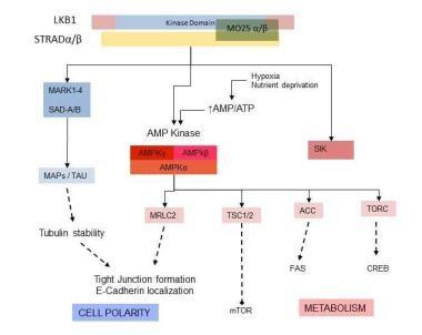 Role of STK11/LKB1 in neoplasia: Regulation of cel
