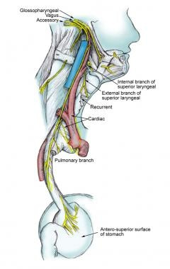 Course of the vagus nerve.