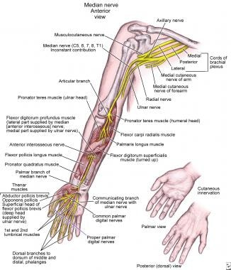 Anatomy of median nerve along its course in upper