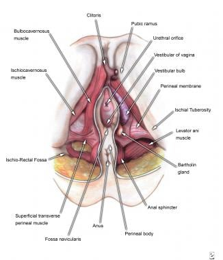 Superficial perineal structures.