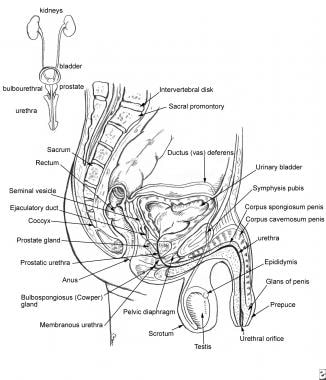 This diagram depicts the relevant anatomy of the m