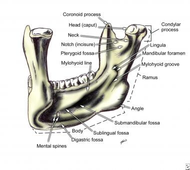 facial bone anatomy: overview, mandible, maxilla, Human Body