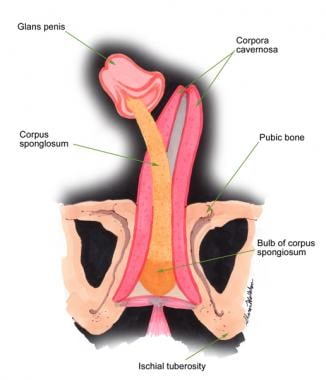 Corporal bodies of the penis.