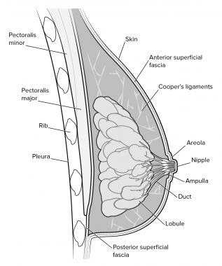 Diagrammatic representation of breast structures v