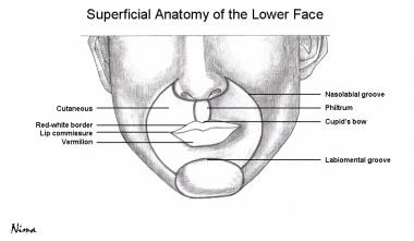 Superficial anatomy of the lower face.