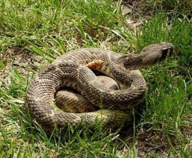 Snakebite. Western diamondback rattlesnake.