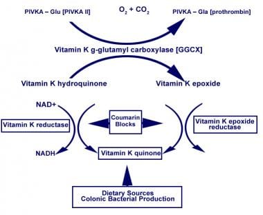 Vitamin K cycle.