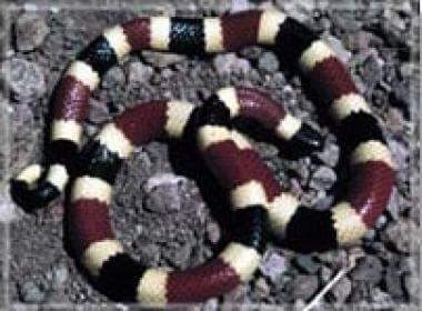 Snakebite. Western coral snake.