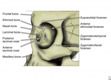 facial bone anatomy: overview, mandible, maxilla, Human Body