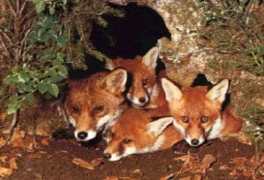 Foxes are the definitive hosts of the cestode Echi