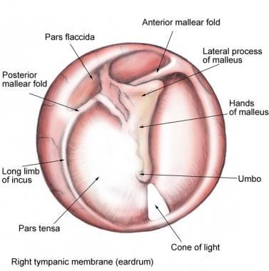 ear anatomy: overview, embryology, gross anatomy, Human Body