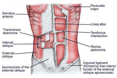 Layers of the abdominal wall.