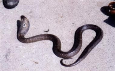 Naja kaouthia (Monocellate cobra). Photo by Sherm