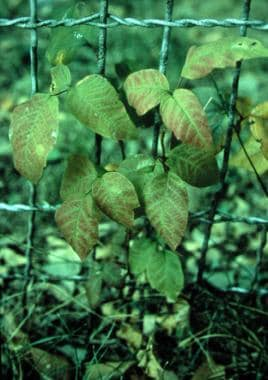Young poison ivy plant Toxicodendron radicans. The