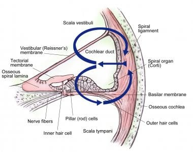 Cross-section of cochlea.