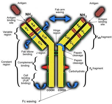 Schematic representation of an immunoglobulin G mo
