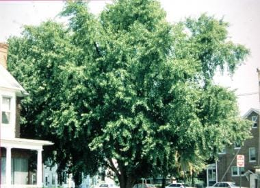Mature gingko tree, Ginkgo biloba, growing in Fred
