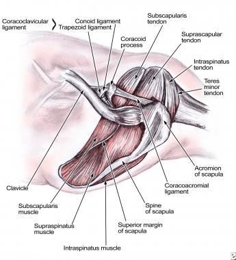 Rotator cuff anatomy.