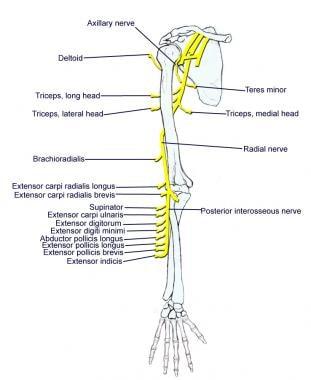 Подмышечного и лучевого нервов.  Плечевое сплетение Плечевое сплетение 11493tn