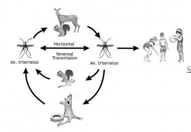 La Crosse virus transmission cycle. The virus is m