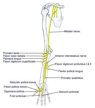 Срединный нерв.  Плечевое сплетение Плечевое сплетение 11494tn