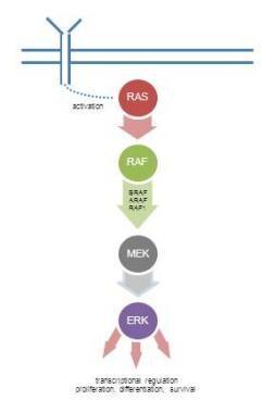 Ras-Raf-Mek-Erk MAP kinase Pathway