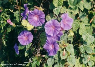 Hallucinogens. Morning glory (Ipomoea violacea).
