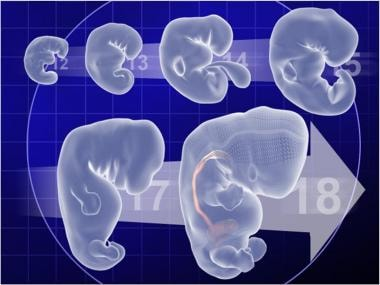 Developmental timeline of the embryo demonstrating