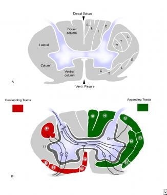 Cross-sectional anatomy of the cervical cord.