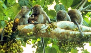 This is a photo of long-tailed macaques socializin