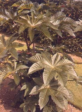 ricin exposure For centuries, ricin, the toxin contained in the seeds (beans) of the castor oil plant (ricinus communis), has been used for homicidal purposes, although it has never been released or used in battle as a biological weapon of war the plant is found primarily in asia and africa but has taken root in all temperate and subtropical.