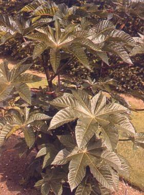 Castor bush.