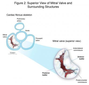 Superior view of the mitral valve and surrounding