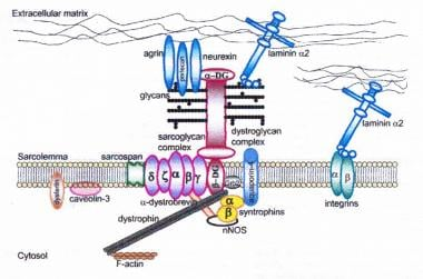 Dystrophin-glycoprotein complex bridges the inner