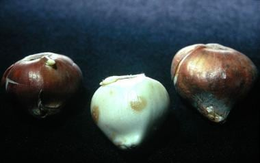 The coverings of tulip bulbs can cause irritant co