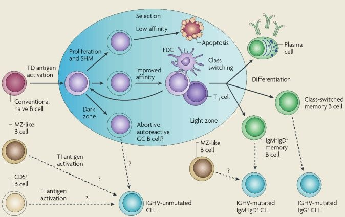 B Cell Activation Germinal Center From Pathogenes...