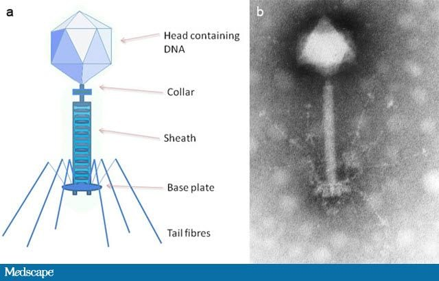 The Bacteriophage Comes Of Age