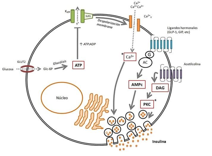 diabetes de membrana celular