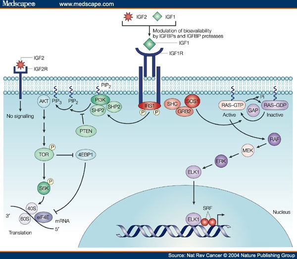 Insulin-Like Growth Factors And Neoplasia