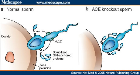 Ace inhibitors and sperm