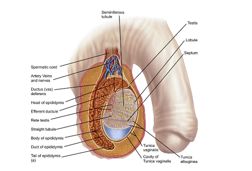 Testicular Disorders Trouble Doesnt Always Come In Pairs