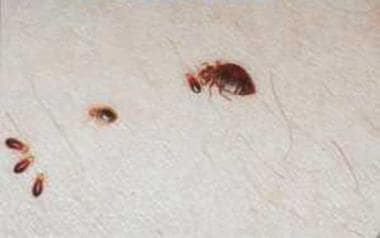 Bedbug Bites: Background, Pathophysiology, Etiology