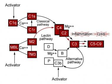 Activation of the complement pathways.