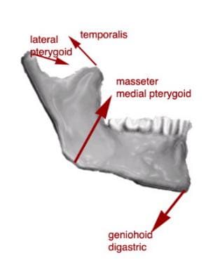 The muscular forces acting upon the mandible.
