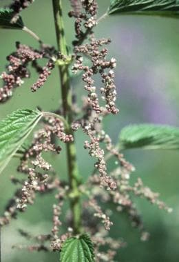 Urtica dioica, the common stinging nettle.