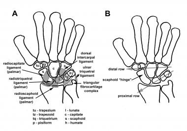 A is the anatomy of the carpus and palmar ligament