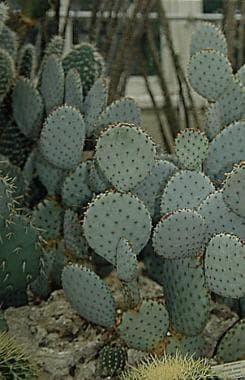 Prickly pears, Opuntia species.