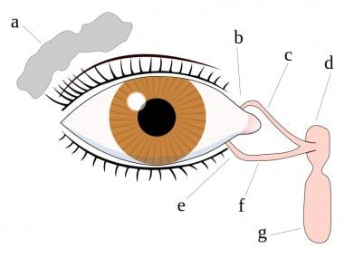Eye tear system anatomy, (Description) a. tear gla