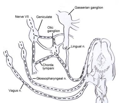 Diagram showing lingual innervation via cranial ne